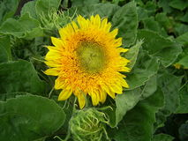 Bright yellow flower of sunflower. Bright yellow flower of decorative sunflower against green foliage Stock Images