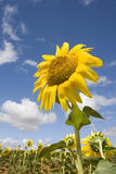 Bright yellow flower of a sunflower. At a farm on a background of cloudy blue sky in a sunny day (summer season). Close up Stock Photo