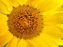 Bright yellow flower of a sunflower background Stock Photography