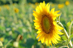 Bright yellow flower of a sunflower on a green background. Stock Photos