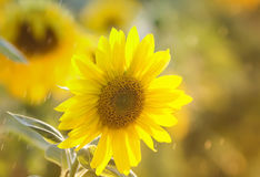 Bright yellow flower of a sunflower is growing on the field. The bright yellow flower of a sunflower is growing on the field Royalty Free Stock Images