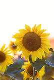 The bright yellow flower of a sunflower is growing on the field Royalty Free Stock Photos