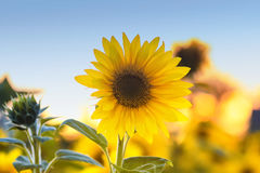 The bright yellow flower of a sunflower is growing on the field. In Sunny day Stock Photography