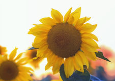 The bright yellow flower of a sunflower growing in field at suns Stock Image