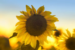 The bright yellow flower of a sunflower growing in field at suns. Bright yellow flower of a sunflower growing in field at sunset Stock Photography