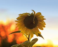 Bright yellow flower of a sunflower growing in field at suns. The bright yellow flower of a sunflower growing in field at sunset Royalty Free Stock Photography