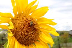 The bright yellow flower of sunflower scenic landscape royalty free stock images