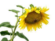 Bright yellow flower of a sunflower Stock Photography