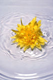 Bright yellow flower in water Stock Photos