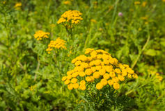 Bright yellow flowering Common Tansy Stock Photography