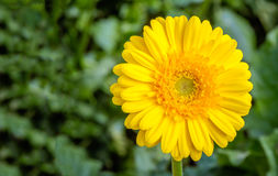 Bright yellow flowering Gerbera plant cultivated in a Dutch gree Stock Image