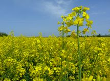 Bright yellow flowering rapeseed canola field under blue sky royalty free stock photos