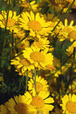 Bright yellow flowers chamomile Royalty Free Stock Image