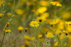 Bright yellow flowers of common madia or tarweed Madia elegans, a wildflower,  in spring, with copyspace stock photo