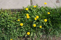 Bright yellow flowers of dandelions near concrete slabs Royalty Free Stock Photos