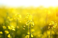 Bright yellow flowers on a field of blooming canola. stock image