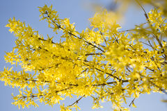Bright, yellow flowers of Forsythia in spring Stock Photo