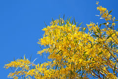 Bright yellow flowers of Golden wattle Royalty Free Stock Photos
