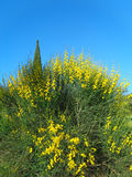 Bright yellow flowers of gorse. Yellow gorse flowers against blue sky Royalty Free Stock Photography