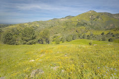 Bright yellow flowers on the green spring hills of Figueroa Mountain near Santa Ynez and Los Olivos, CA royalty free stock photo