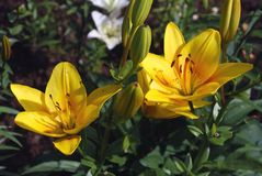 Bright yellow flowers lily Stock Images