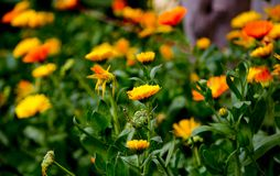Bright yellow flowers royalty free stock image
