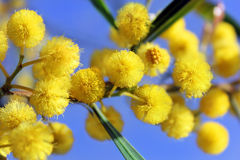 Mimosa blossoms, spring has come Stock Photos
