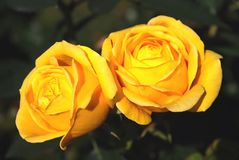 Bright yellow flowers rose Royalty Free Stock Photos