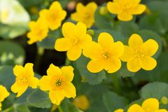 Bright yellow flowers in spring time. Some Bright yellow flowers in spring time royalty free stock image