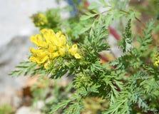 Bright yellow flowers, succulent shrub with yellow flowers. Bright yellow flowers, shrub with succulent yellow flowers. Botanical Garden Stock Photos