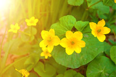 Bright yellow flowers, succulent shrub with yellow flowers Royalty Free Stock Image