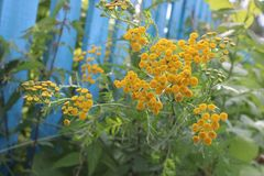 Bright yellow flowers of tansy on a background of blue fence. Summer country landscape - flowers of tansy growing near the fence stock photos