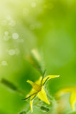Bright yellow flowers of tomatoes Stock Image