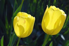 Bright yellow flowers Tulip Royalty Free Stock Photo