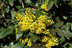 Bright yellow flowers and wide pinnate leaves of grape holly Stock Photos