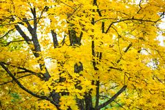 Bright yellow foliage and dark branches of a maple tree. Gorokhovets Royalty Free Stock Photos