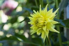 Bright Yellow Formby Gold Dust Dahlias Stock Photo