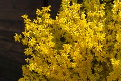 Bright yellow Forsythia bush on the spring sun against the black background of bygone winte. R. Selective focus. Sunny theme of yellow colors of spring stock images