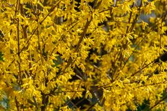 Bright yellow Forsythia bush on the spring sun against the black background of bygone winter. Selective focus. Sunny theme of yellow colors of spring royalty free stock photo