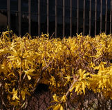 Bright yellow forsythia fence. Bright yellow forsythia shrub fence and wire netting bounding an office block Royalty Free Stock Photos