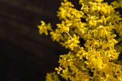Bright yellow Forsythia glows with happiness on the spring sun against the black background of bygone winte. R. Selective focus. Sunny theme of yellow colors of stock images