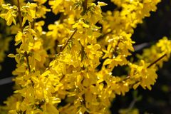 Bright yellow Forsythia glows with happiness on the spring sun against the black background of bygone winter. Selective focus. Sunny theme of yellow colors of royalty free stock photography