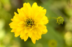 Bright yellow garden flower. Stock Photos
