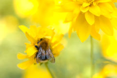 Bright yellow garden flower and bumblebee. Stock Photo