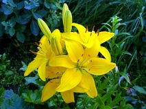 Bright yellow garden lilies stock photo
