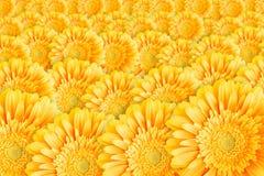 Bright yellow gerbera Royalty Free Stock Photo
