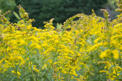 Bright Yellow Goldenrods In Autumn. Bright beautiful yellow goldenrods. Outdoor landscape, Ontario Parks. Large field of wildflowers in conservation area. Field Royalty Free Stock Photos