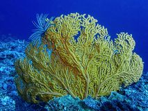 Bright Yellow Gorgonian Coral in Blue Underwater Image. Bright yellow gorgonian fan coral in blue ocean with black and white feather star attached to tip of stock photos