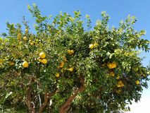 Bright yellow grapefruit tree in the clear blue desert sky Stock Photo