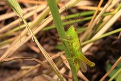 Bright yellow-green grasshopper on the grass stalk Stock Image